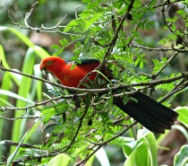 King Parrot at Daintree Valley Haven