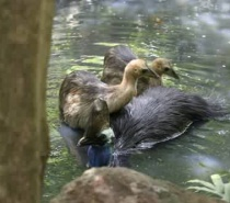 Male Cassowary and chicks swimming rare sighting on tour