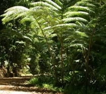 Rare Giant Kingferns - Hundreds of years old