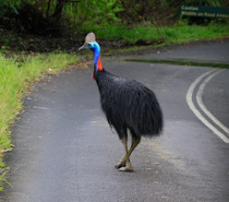 Male Cassowary crossing Road Cape Tribulation