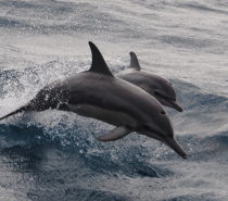 Spinner Dolphins reguarly chase Aquarius - they love putting on a show for us