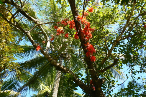 Flame of the Forest and coconut palm