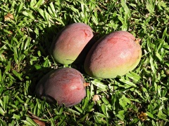 Our first mangoes