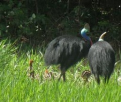 Cassowary with Chicks seen this week