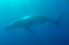 Silversonic Divers swim with a Humpback Whale