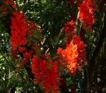 Flame-of-the-Forest Vine